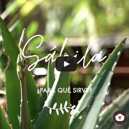 Sábila o Aloe Vera ¿para qué sirve Propiedades Medicinales